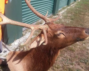 Genuine Elk Head - Taxidermy Wall Mount