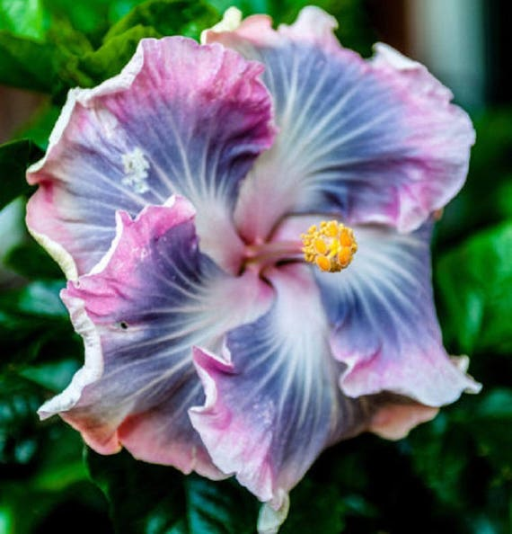 & Rare Blue Purple Hibiscus Seeds Giant Dinner Plate Fresh