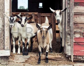 Alpine Does, Goat Farm, Photo, Fine Art Print
