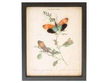 Victorian Insect Display Lanternfly Shadowbox UV GLASS