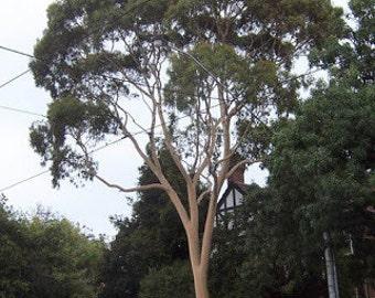 50 Lemon Scented Gum Tree Seeds, Eucalyptus citrodora