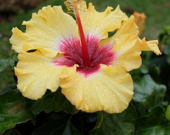 """Four (4) Nature / Yellow Red Hibiscus Photo Note Cards (4.25"""" x 5.5""""), blank inside with envelopes"""