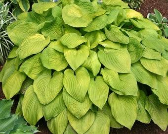 Hosta August Moon - 3 Jumbo BR Plants