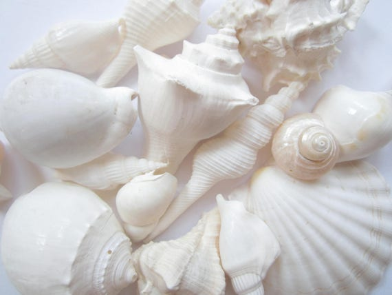 white sea shell mix wedding decor sea shells bulk bag of