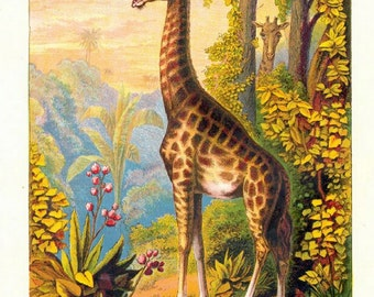 "Wild Animals  Zoo Animals, Giraffes, 1880 8x10""  Canvas art print"