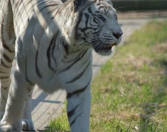 A4 White Tiger Photo