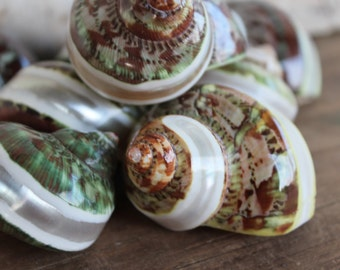 Banded Petholatus Turbo Shell - Bulk Shells - Wholesale Shells - Hermit Crab - Turbo
