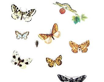 Butterflies Print  - Lythria, Geometra, Abraxas Butterflies - 1974 Vintage Book Page - World Butterflies Book - 10 x 8