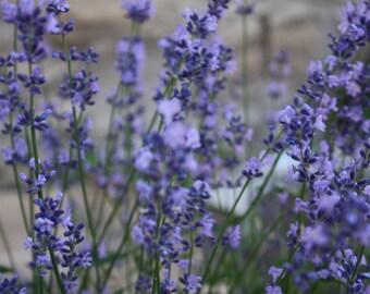 Lavender Seeds, English Lavender Seeds, Medicinal Herbs,Pink Lavender Seeds, Lavandula Angustifolia Rosea Seeds, Lavender With Pink Flowers