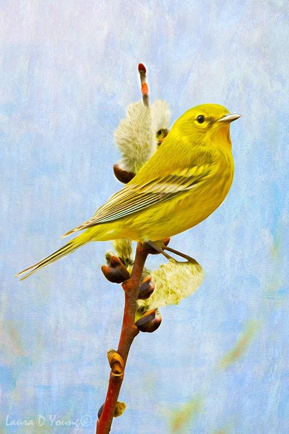 Pine Warbler Bird Closeup Yellow Bird Art Bird Photography