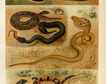 1897 Antique lithograph of SNAKES, different species. Venomous snakes. Vipers. 121 years old print