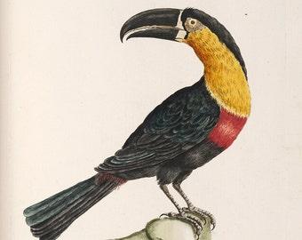 "Saverio Manetti : ""Mangiapepe Toucan"" (Natural History of Birds, 1767-1776) - Giclee Fine Art Print"