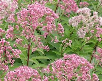 Joe Pye Weed, Eupatorium fistulosum, Native Perennial, FALL Bloomer! 1 Gallon, FREE Shipping!