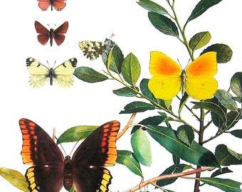 Butterflies Print - Butterflies in the Mediterranean -  1985 Butterfly Book Page - World Butterflies Book - 12 x 8 - 232