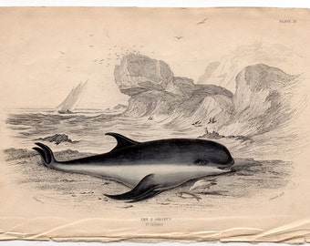 1837 ANTIQUE DOLPHIN ENGRAVING original antique sea life ocean print - grampus grey