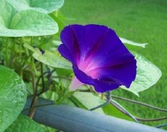 25+ Grandpa Ott Morning Glory Flower Seeds / Perennial