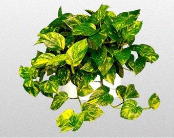 "1 Golden Pothos 3-4"" pot (shipped without pot) Variegated  Houseplant -Clean Air Plant"