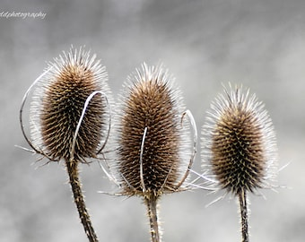 Teasels, Nature, plant, thistle, original photographic print
