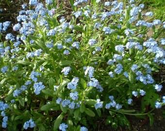 2 Organic Norfolk Forget Me Not,Myosotis,English Cottage Garden plant