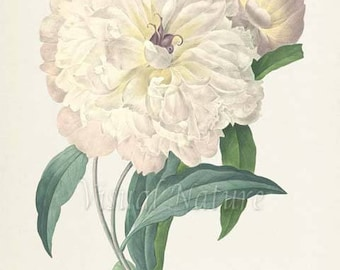 Peony Flower Art Print, Peony Botanical Art Print, Flower Wall Art, Flower Print, Floral Print, Redoute Art, white, green, Paeonia flagrans