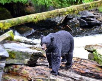 Black Bear Photo, Alaska, Woodland Cabin Decor, Fine Art Photo