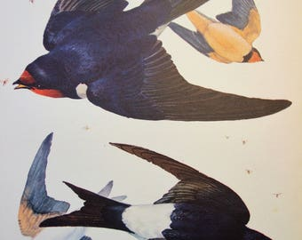 Swallow and House Martin Original 1947 Vintage Bird Bookplate