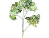 Parsley Herb Painting - P...