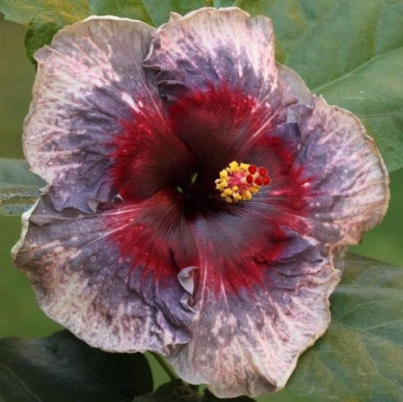 White And Purple Hibiscus Daily Motivational Quotes