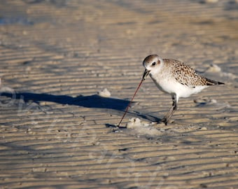 Black Bellied Plover Photograph // Florida Nature Photograph // Shorebird Plover Photograph Print
