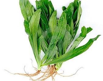 Packet of Thai Parsley or Culantro Seeds, ERYNGIUM FOETIDUM, Recao, Pak Chee Farang Thai herb