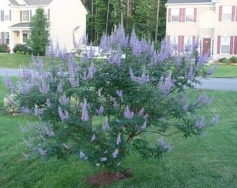 Vitex Chaste Texas Lilac Tree Or Bush 4 Pack