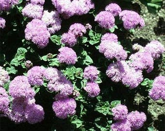 Ageratum- Pink Ball - 200 Seeds
