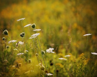 Golden Hour Fine Art Photography Nature Field Queen Annes Lace Autumn Fall Rustic Warm Tones Brown Green Gold Yellow Home Decor Wall Art