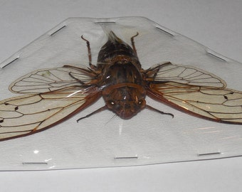 CICADIDAE SP 01 Real Insect Taxidermy fast ship u.s. seller