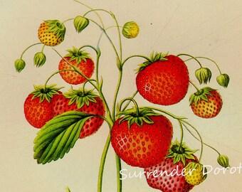 Strawberry Trollopes Victoria Prestele Vintage Fruit Poster Print  Vintage Botanical Lithograph To Frame 254