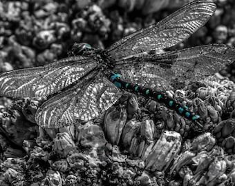 Dragonfly on Barnacles