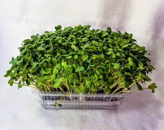 Spicy Hyper Greens Microgreen Kit  5-7 Days Seed to Harvest, 2 Crops
