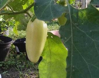 Aubergine, Solanum Melongena,Ghana Eggplant Seeds, Garden Eggs, African Eggplant, Guinea Squash,15 Rare Seeds