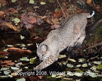 Bobcat Testing the Water Photograph note card or greeting card