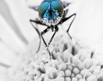 Macro photography, animal photography, insect print, bluebottle, fine art photography, framed print,matted print, 5x7,8x12,16x24,12x18,24x36