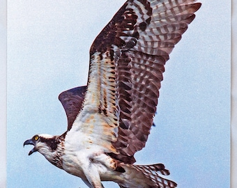 Picture Postcard: Chesapeake Beach, Maryland, (Osprey with Prey) HQ 5X7 in.