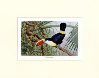 "Matted Antique Toucan Bird Print C.1900  Ornithology Lithograph 11 x14"""