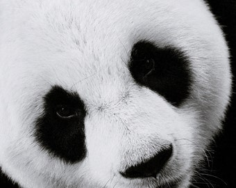 The Panda 3 - black and white Window To The Soul of A Lovely Panda winter  Nature decor zoo travel gift idea black and white photography