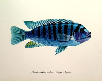 1975 zebra mbuna blue lithograph print,  antique FISH color engraving, VINTAGE sea life color engraving, fishes marine animal plate.