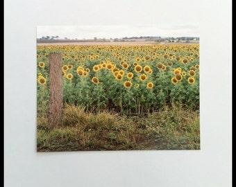 Sunflower Field Photograph Postcard