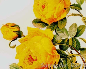 Yellow Sulphur Rose Redoute Rosa Hemisphaerica Vintage Flower Botanical Lithograph Poster Print To Frame 28