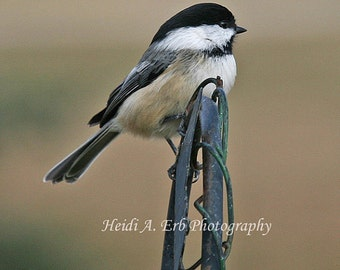 Photo Note Card, Blank Note Card, Photo Card, Greeting Card, Bird note card, Bird Photo Card, Chickadee Note Card, Chickadee Photo Card