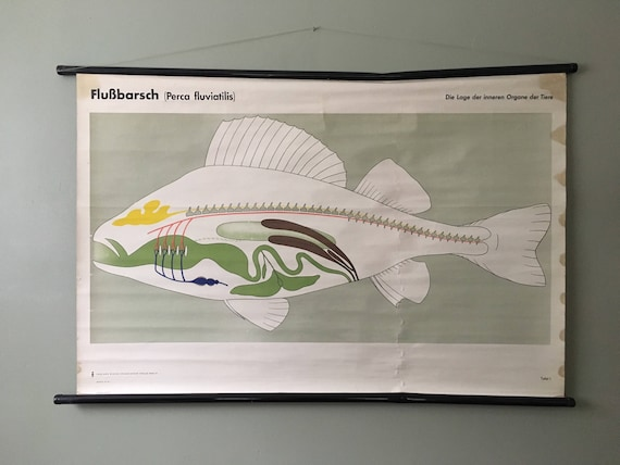Vintage East German Educational Chart, Roll Down Poster Of The Internal Organs Of A River Perch Fish By Volk Und Wissen, Berlin