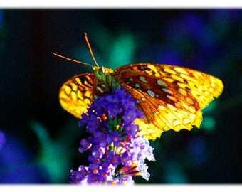 Great Spangled Fritillary Butterfly, Nature Photography - Garden Home Decor Fine Art Print or Note Card Set