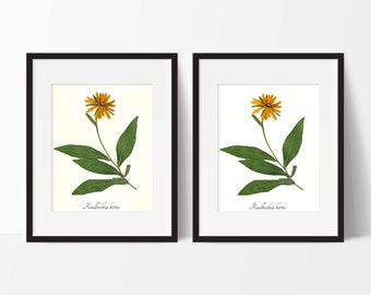 Black Eyed Susan Botanical PRINT - Pressed Plant Art Print